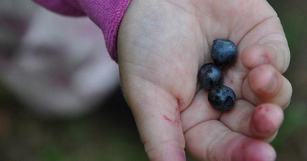 Čučoriedky sú plne antioxidantov